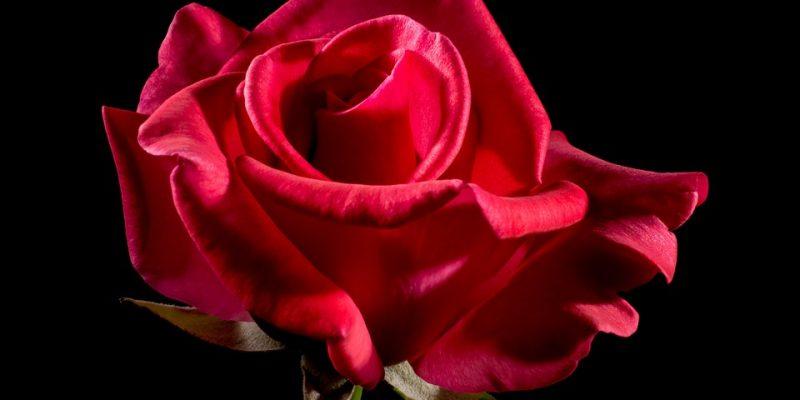 Petite histoire des fleurs à travers le temps