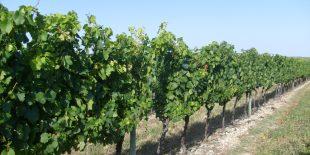 Les vignobles de Charente-Maritime