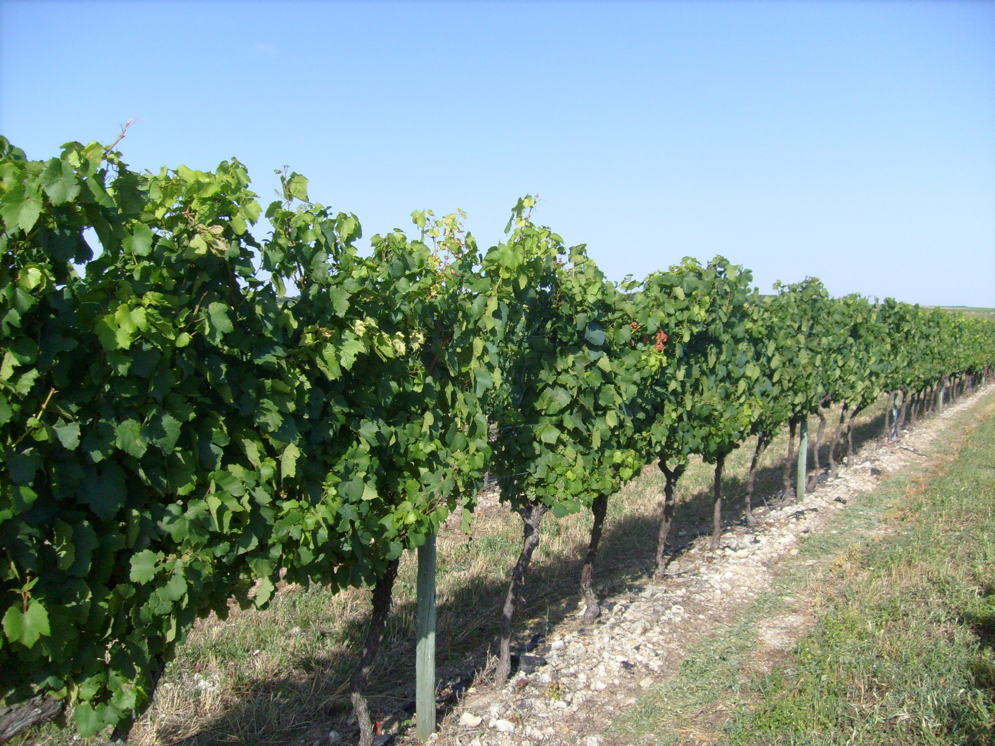 Les vignobles de Charente-Maritime 1
