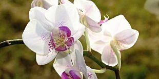 Bien choisir son orchidée